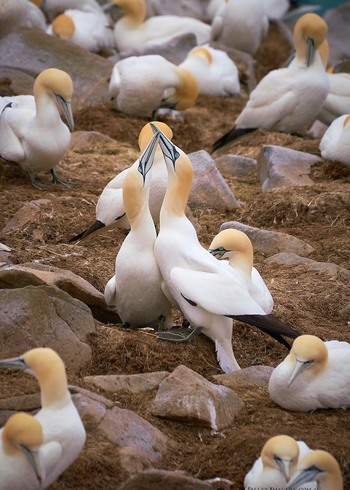Gannets at St Brides, Newfoundland, Canada