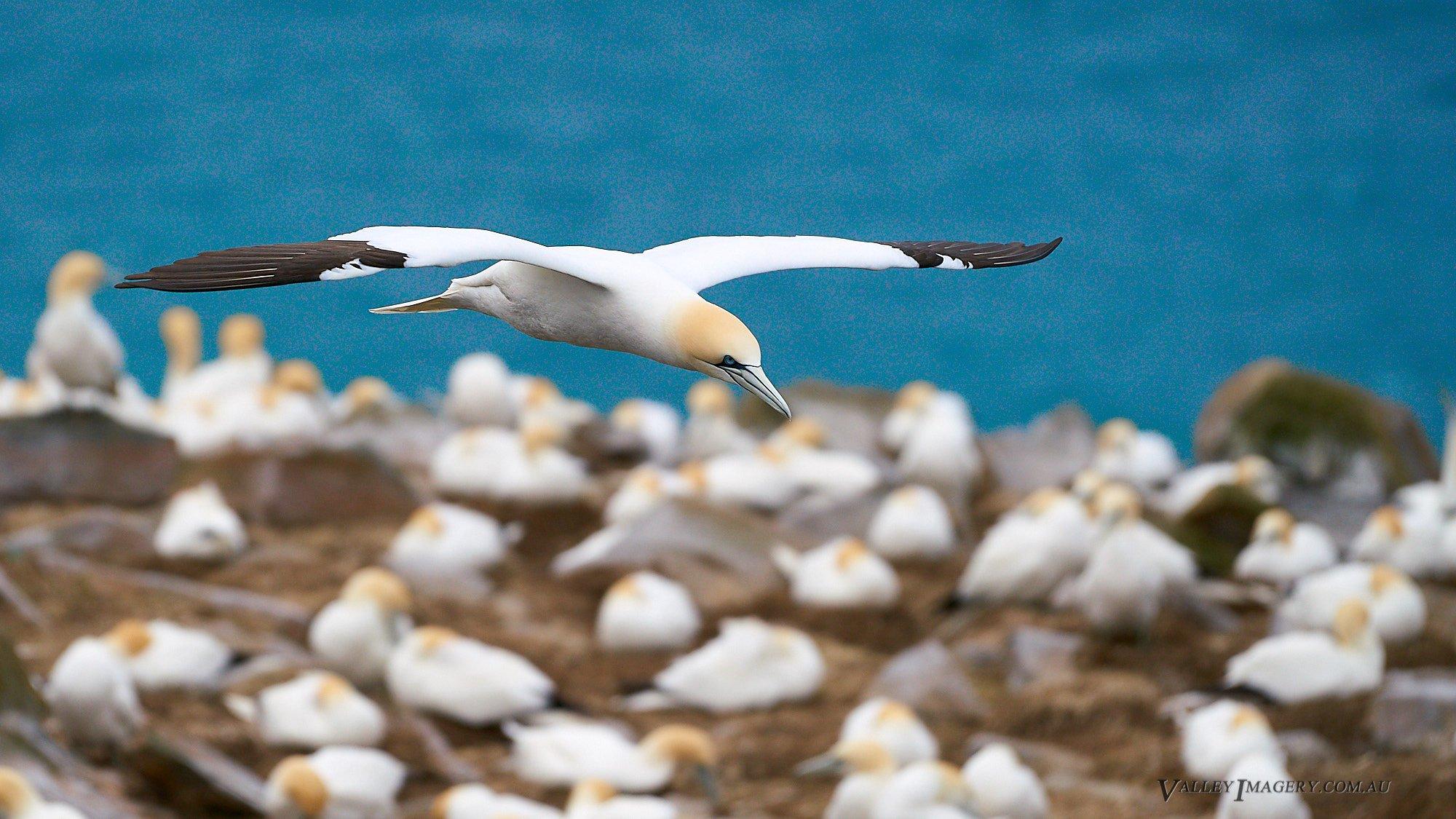 Gannets in Newfoundland