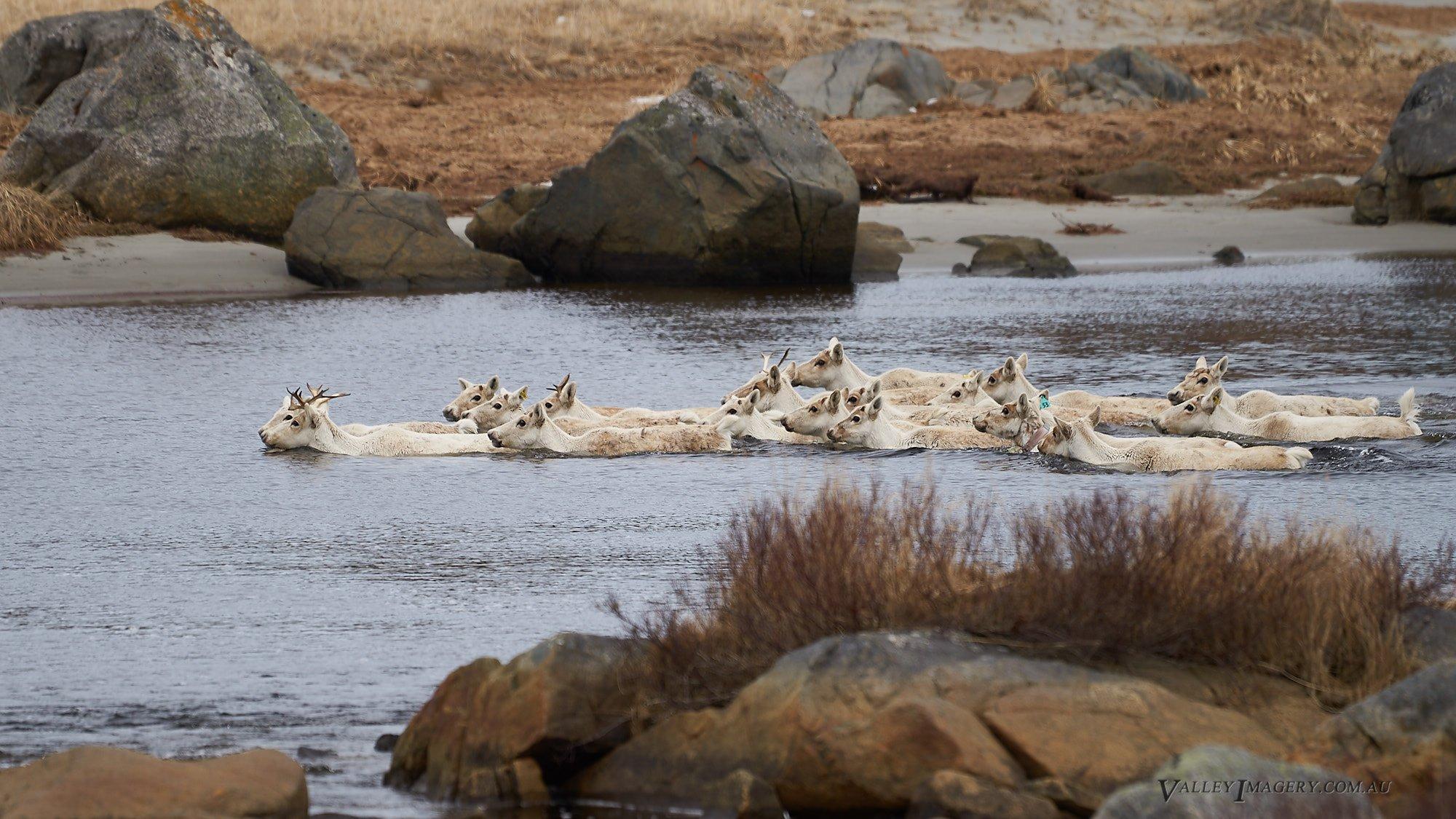 Caribou herd Tiliting, Fogo island