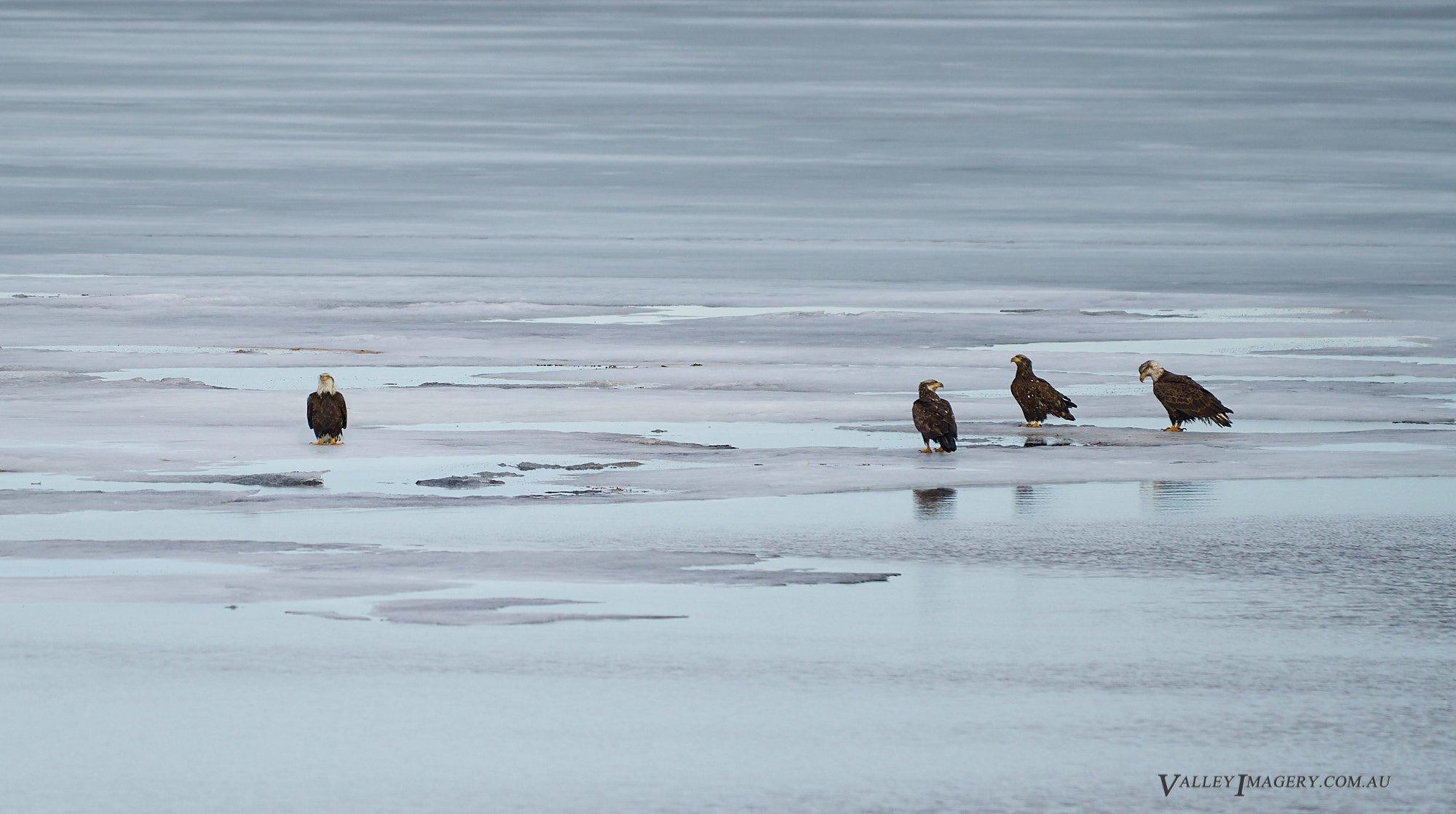 4 Bald eagles on a frozen lake